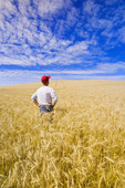 a man look out over a mature harvest ready wheat field near Bruxelles, Manitoba, Canada