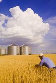 a man scouts a mature, harvest ready  wheat field with grain storage bins in the background,near Dugald, Manitoba, Canada