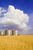 mature, harvest ready wheat field with grain storage binsin the background,near Dugald, Manitoba, Canada