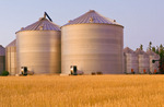 mature harvest ready spring wheat field with grain storage binsin the background,near Dugald, Manitoba, Canada