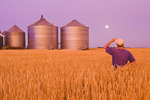 a man looks out over a mature, harvest ready wheat field with grain storage bins in the background,near Dugald, Manitoba, Canada