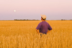 a man looks out over a mature, harvest ready wheat field near Dugald, Manitoba, Canada