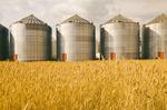 mature harvest ready spring wheat field with grain storage binsin the background,near Dugald, Manitoba, Canada