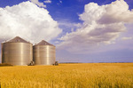 mature harvest ready spring wheat field with grain storage bins in the background,near Dugald, Manitoba, Canada