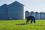 a man scouts a wheat field, grain storage bins in the background,near Dugald, Manitoba, Canada