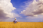 a man looks out over a field of mature, harvest ready wheat, near Dugald, Manitoba, Canada