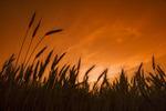 mature spring wheat field, near Lorette, Manitoba, Canada