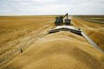 a farm truck being filled with durum wheat, near Ponteix, Saskatchewan, Canada