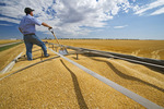 a man looks out from a farm truck filled with durum wheat, near Ponteix, Saskatchewan, Canada