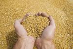 a farmer holds durum wheat, near Ponteix, Saskatchewan, Canada