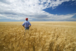 a man looks out over a mature, harvest ready durum wheat field , near Ponteix, Saskatchewan Canada