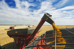 augering durum wheat in to a farm truck. near Ponteix, Saskatchewan, Canada