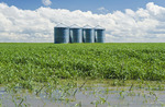 flooded early growth wheat field, with grain storage bins in the background, near Carey, Manitoba, Canada
