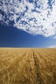 mature, harvest ready durum wheat field , near Ponteix, Saskatchewan Canada