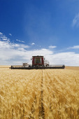a combine harvests durum wheat, near Ponteix, Saskatchewan, Canada