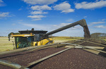 farm truck with canola/combine harvester in the background, near Somerset, Manitoba, Canada