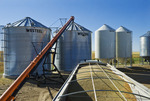 augering lentils into a grain bin during the harvest, near Viceroy,  Saskatchewan, Canada