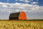 red barn next to wheat field, near Elrose, Saskatchewan, Canada
