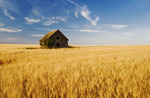 abandoned farm house, wheat field near Beechy, Saskatchewan, Canada