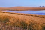 a field of swathed canola, near Dana, Saskatchewan, Canada