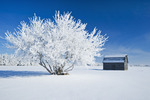 frost covered trees and old barn,near Cooks Creek, Manitoba, Canada