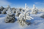 frost covered Christmas trees on tree farm near Beausejour, Manitoba, Canada