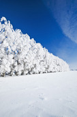 hoarfrost on trees in shelter belt, near Cooks Creek, Manitoba, Canada