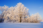 hoarfrost on trees, near Beausejour, Manitoba, Canada