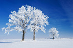 frost covered oak trees,near Beausejour, Manitoba, Canada