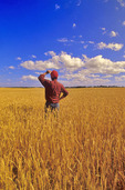 a man looks out over a field of maturing wheat, near Dugald, Manitoba, Canada