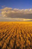 wheat stubble,  Manitoba, Canada