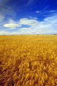 winter wheat field near La Salle, Manitoba, Canada