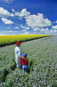 father and son in a flowering flax field with canola in the background, Tiger Hills near Somerset, Manitoba, Canada