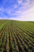 an early growth grain field near Holland, Manitoba, Canada