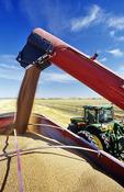 a grain wagon unloads wheat into a farm truck during the harvest, near Lorette, Manitoba, Canada