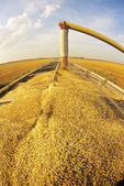 an auger loads oats into a farm truck during the harvest near Dugald,  Manitoba, Canada
