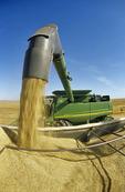 a grain wagon unloads oats into a farm truck during the harvest near Dugald,  Manitoba, Canada