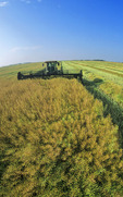 swathing high yield canola field, near Dugald, Manitoba, Canada
