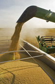 a combine harvester unloads soybeans into a farm truck during the harvest,