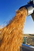 a grain wagon unloads corn into a farm truck, near Sanford, Manitoba, Canada