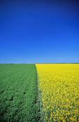 wheat and canola patterns near Treherne, Manitoba, Canada