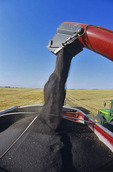 canola is augered into a farm truck during the harvest, near Lorette, Manitoba, Canada