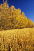 spring wheat field with autumn colours in the background, Manitoba, Canada