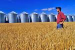 man in a mature wheat field with grain bins(silos) in the background, near Roland, Manitoba, Canada