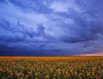 blooming canola field with cumulonimbus cloud , Southern Manitoba, Canada