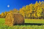 autumn, aspen trees, round alfalfa bale, Manitoba, Canada