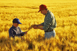 father and son examining a maturing wheat crop near Dugald, Manitoba, Canada