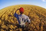 farmer in winter wheat field, Canadian Prairies