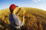 a man checks a mature harvest ready wheat field near Carey, Manitoba, Canada