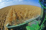 feed corn harvest